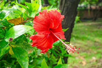 Bunch of big red petals of Hawaiian hibiscus blossom cover around long stamen and pistil, known as Shoe flower, Chinese rose, rosa de sharon, Hawaii state flower and also Pua aloalo or ma'o hau hele