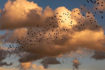 Stormo di uccelli sui fili elettrici al tramonto