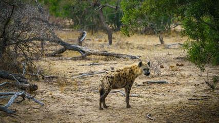 Fotobehang Hyena hyena in kruger national park, mpumalanga, south africa 10