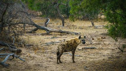 Fotobehang Hyena hyena in kruger national park, mpumalanga, south africa 11