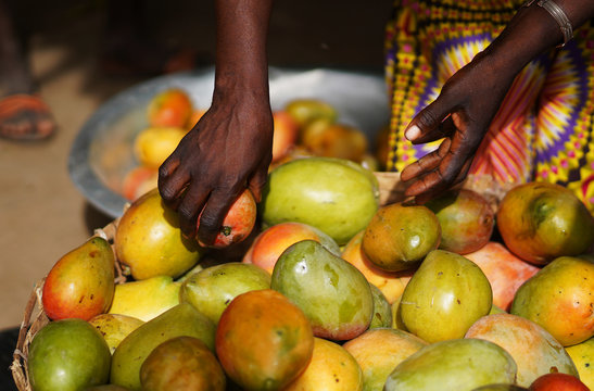 Close Up Of An African Woman's Hands Fetching Ripe Mangoes From A Basket