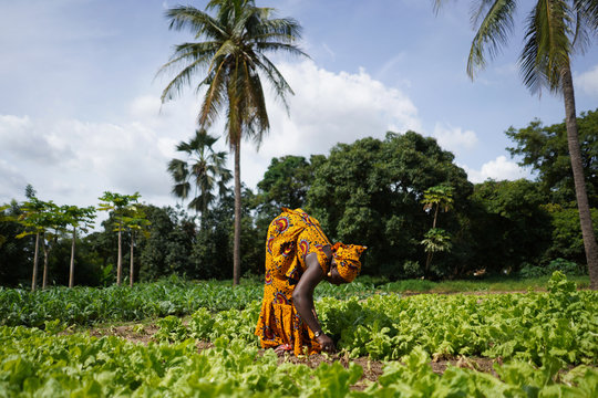 Two Women Farmers Working In A Salad Plantation In A West African Rural Community