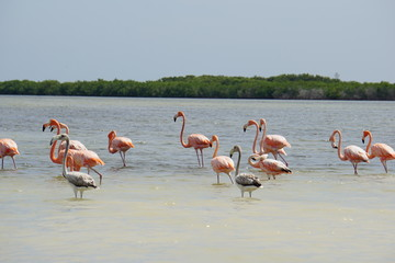 Wild flamingoes in Mexico