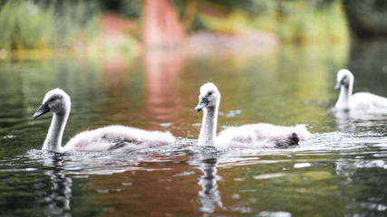 Foto op Aluminium Zwaan Swan cup gray duckling in London on a river in the water