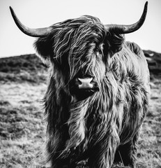 Aluminium Prints Black & White Highland Cow