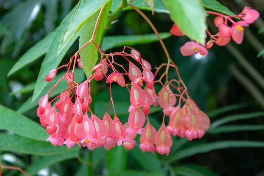 Angel wing begonia Begonia coccinea botanical pink flower plant