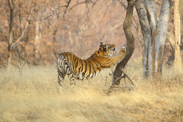 A Tigr (Panthera tigris) streching itself on the tree from Ranathambhore National Pakr, Rajasthan India