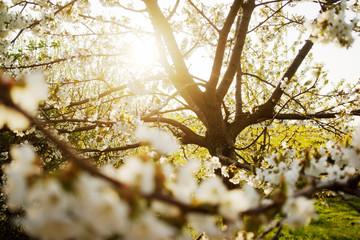 Apfelbau mit Blüte im Sonnenlicht