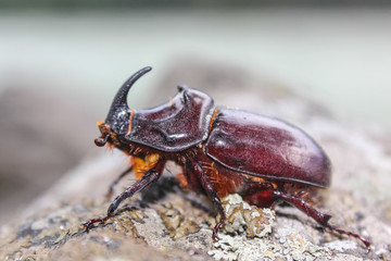 Foto op Canvas Neushoorn rhinoceros beetle fun walks on a granite boulder