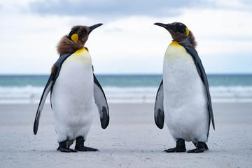ペンギン サウンダース島