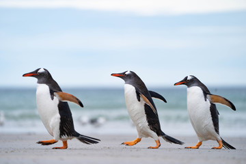Stores à enrouleur Pingouin ペンギン サウンダース島