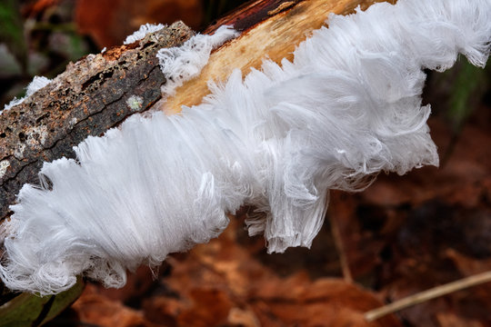 otting fallen tree branch covered in a thick coating of delicate hair ice