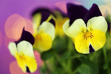 Foto auf AluDibond Stiefmutterchen Pansy flower.Spring flowers. Yellow pansies flowers on a purple blue delicate background . Floral spring beautiful background.