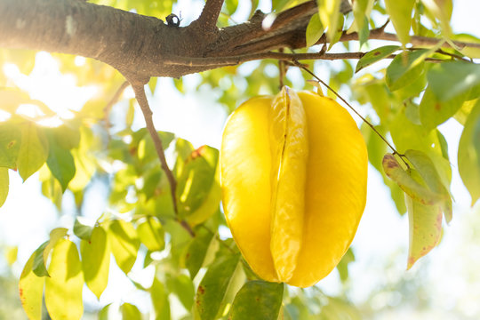 Fresh starfruit or star apple hanging on a branch of tree
