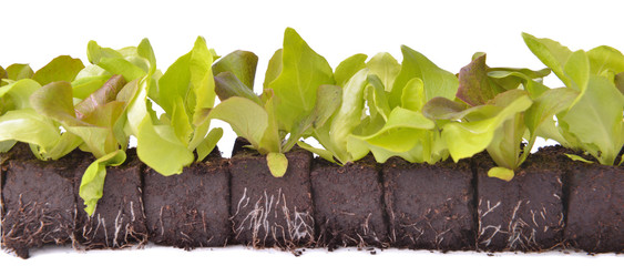 Foto auf Leinwand Frischgemüse lettuce seedlings in lump of soil in line on white background