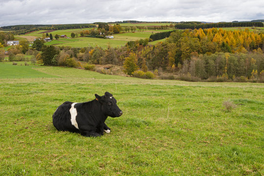 ardennes cow in front of forest
