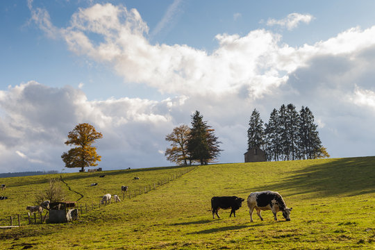 cows in landscape ardennes winter