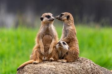 meerkat on guard Fototapete