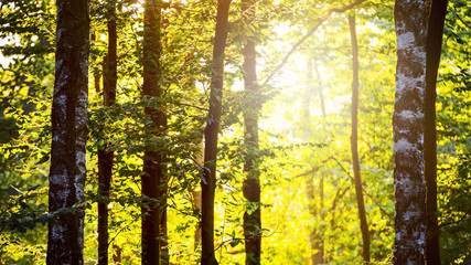Fototapeten Gelb Spring forest in the morning at sunrise in yellow-green colors_