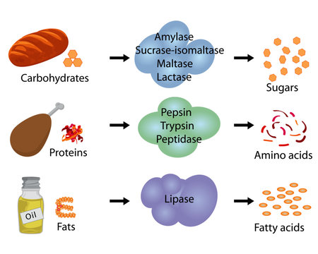 How enzymes work. Fermentation and digestion food