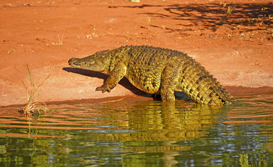 Crocodile in the water in South Africa