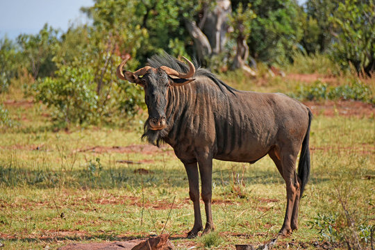 Wildebeest in  South Africa