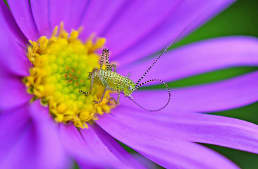 Grasshopper on a purple flower