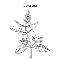 Java tea Orthosiphon stamineus , medicinal plant
