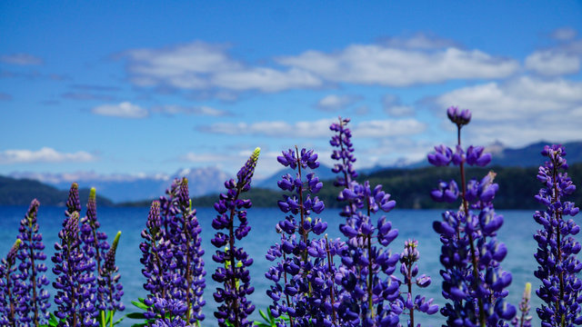 Lupine flowers and Andes Mountains in the background