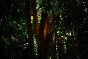 Light on Arayan tree - Arrayan forest, Bariloche, Paragonia, Argentina.