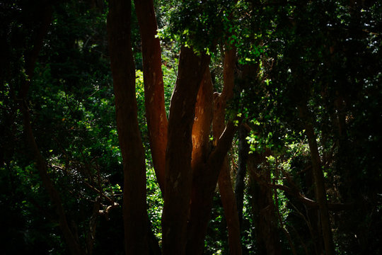 Light on Arayan tree - Arrayan forest, Bariloche, Paragonia, Argentina.