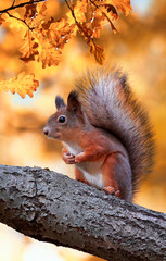 Foto op Aluminium Eekhoorn beautiful fluffy red squirrel sitting in autumn Park on a tree oak with bright Golden foliage