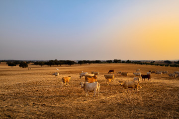 A herd of cows in a pasture at sunset with cork oaks in the background, in Portugal, Europe.