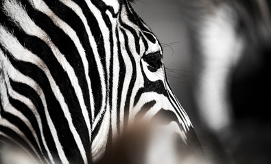 Photo sur Aluminium Zebra background which the structure of hide of zebra is represented on
