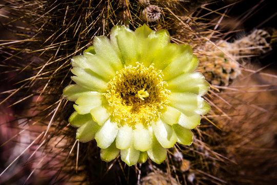 Light green flowering cactus in the springtime desert of Saguaro National Park, Tucson, Arizona