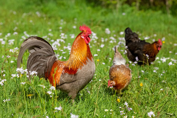 Photo sur Toile Poules Free-range Poultry Running in the Meadow