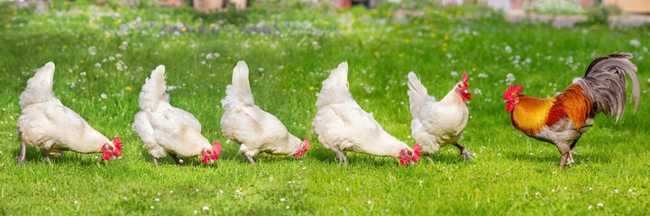 Papiers peints Poules Free-range Poultry Running in the Meadow