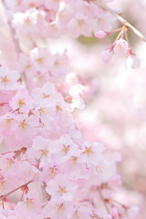 Poster Printemps Pink, Flower viewing, Blossom