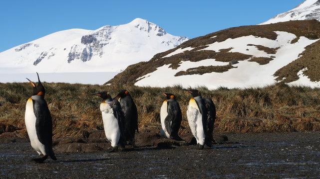 Königspinguin in Südgeorgien Antarktis nistend, laufend