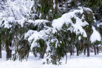 Printed roller blinds Roe Christmas trees covered with snow in heavy snowfall in city Park.