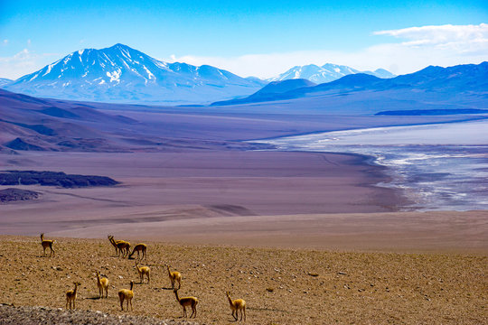 Vicunas and volcanoes surround a salt lake in the high altitude desert of Salta's puna region in Argentina