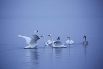 Foto op Plexiglas Zwaan 早朝の屈斜路湖の白鳥