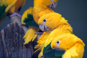 Poster A group of cute pet parrots Sun Conure (Aratinga solstitialis) perched on the log