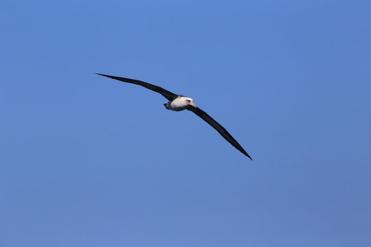 Laysan albatross flying in blue skies of Kauai