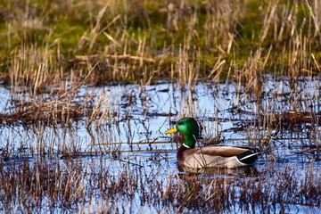 Ducks in a marsh