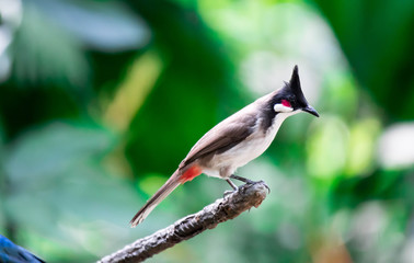 Red-whiskered Bulbul bird is a passerine bird found in Asia Wall mural