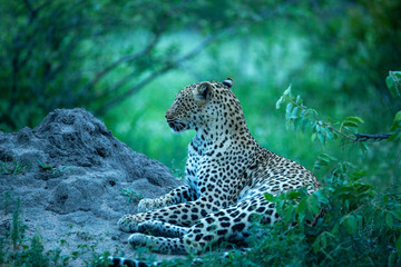 female leopard resting on a termite mound as she surveys a herd of impala