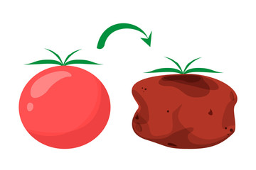 Good and fresh tomato become bad and rotten vector isolated