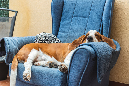 Dog sleeping soundly resting on blue armchair or sofa. Beautiful Basset Hound Tired Detective Sniffer Dog Lying.