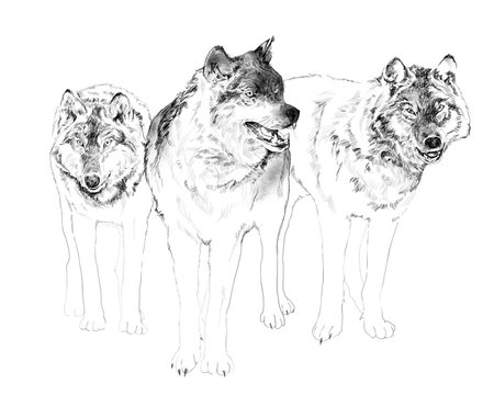 tree wolves isolated on white background